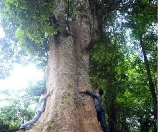 中国最大三棵金丝楠树,被风吹断树枝,卖了四十万