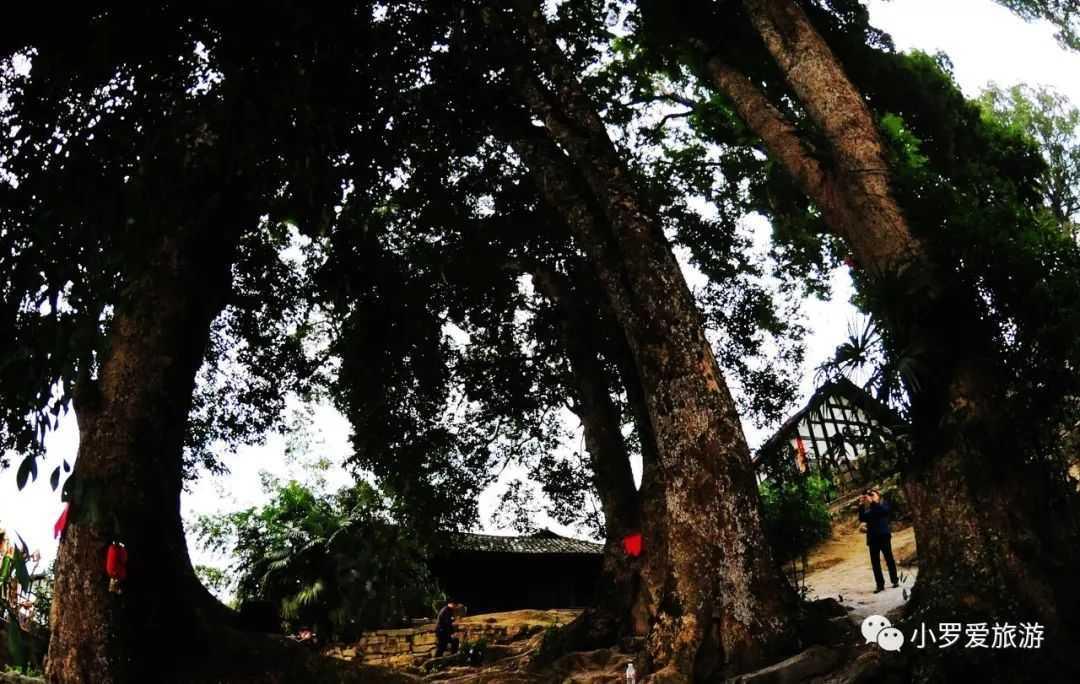 重庆发现8棵千年金丝楠,有人出1亿想买