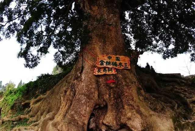 重庆发现8棵千年金丝楠,吸引大批游客合影
