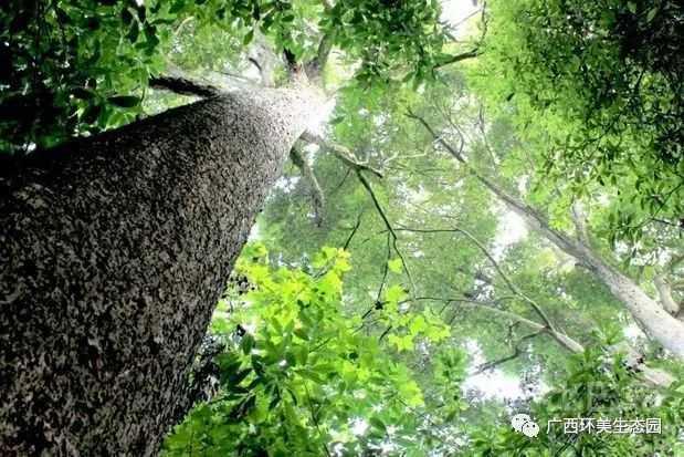 金丝楠木:木如君子质如玉