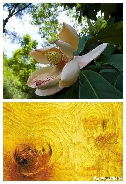 三种具有黄金光泽的木头,因价格不同往往被冒充