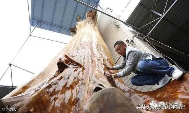 树龄4300年金丝楠木,重16吨价值超过千万