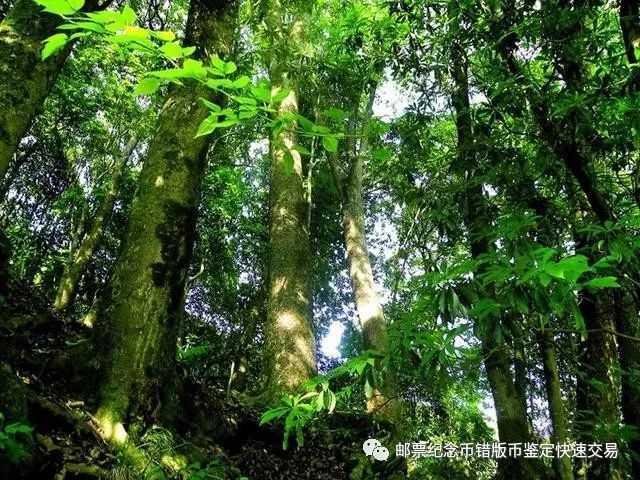 金丝楠木:中国独有的珍稀木材