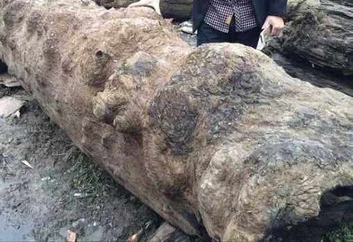 40万买下巨型金丝楠阴沉木,赌木现场遭曝光