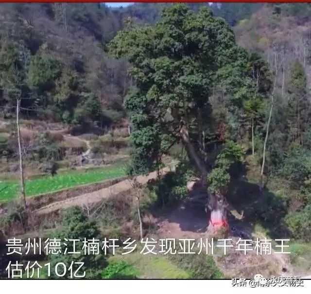 贵州德江楠杆乡发现亚洲第一的千年金丝楠王,专家估价10亿